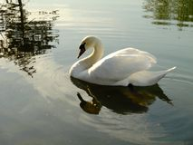 White swan. Swan floating by itself, eating crumbs and loving people Stock Photos