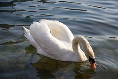 White swan with beack under water eating. White swan floating in the lake with beack under water eating at sunset Royalty Free Stock Photos