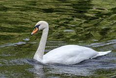 White Swan floating in the lake with the green water. White Swan floats on the pond water with folded wings Stock Photo
