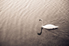 White swan floating on the lake. Select focus Stock Photo