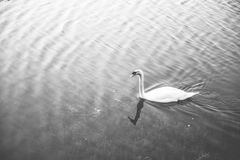 White swan floating on the lake. Select focus Stock Image