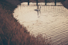 White swan floating on the lake. Select focus Stock Photography