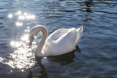White swan floating and light sparkle Royalty Free Stock Photo