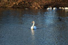 White swan on a pond. White swan floating on a pond Royalty Free Stock Photos