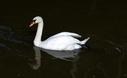 White swan floating Royalty Free Stock Images