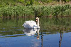 White swan floating in the river. Swan floating in the river Stock Photography