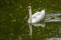 White swan is floating in the river Royalty Free Stock Photo