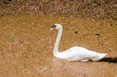 White swan is floating in the river Stock Photo