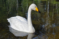 White swan floating on the smooth water. Stock Photography