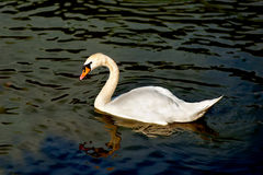 White swan floating on surface of lake Royalty Free Stock Photo