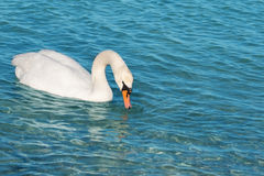 White swan is floating Royalty Free Stock Photos