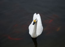 White Swan. A white swan floating on water Royalty Free Stock Photo