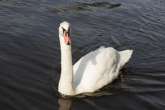 White swan. Floating on the water from the front Stock Images