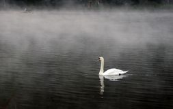 The white swan Royalty Free Stock Images