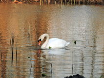 White swan floating on water Stock Photo