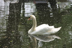 White Swan floating on water. White Swan floating in the water in summer Stock Image