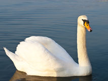 White swan Stock Photography