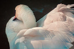 White Swan. Floating in the water in sunset light Stock Photo