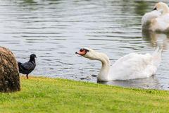 White swan floating on water surface near green grass bank Royalty Free Stock Photo