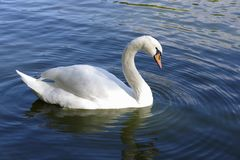 White Swan. stock photography