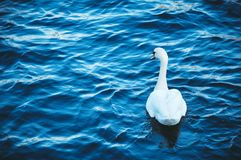 White swan floats on the river on the waves, spring Stock Photos