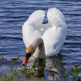 White swan floats in blue water. Royalty Free Stock Photo