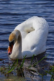 White swan floats in blue water. Royalty Free Stock Photography