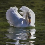 White swan Royalty Free Stock Photos
