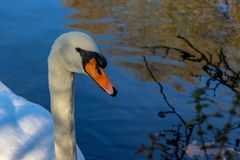 White swan floats on forest lake. Golden autumn trees reflection on rippled water surface royalty free stock photos
