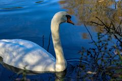 White swan floats on forest lake. Golden autumn trees reflection on rippled water surface stock photos