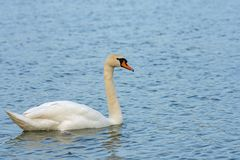 White swan floats on the lake. Beautiful white swan floats on the lake Royalty Free Stock Images