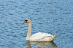 White swan floats on the lake. Beautiful white swan floats on the lake Royalty Free Stock Photography