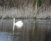 White swan. Floats over the water surface of the lake stock image