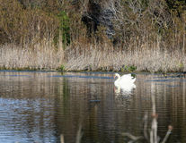 White swan. Floats over the water surface of the lake Royalty Free Stock Photo