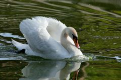 The white swan floats in a pond. The adult white swan floats on water in the summer evening Royalty Free Stock Photo