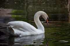 The white swan floats in a pond. The adult white swan floats on water in the summer evening Stock Image