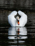 White swan floats in a pond. The adult white swan floats on water in the summer evening Stock Image