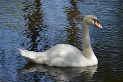 White swan floats. ripple Royalty Free Stock Images