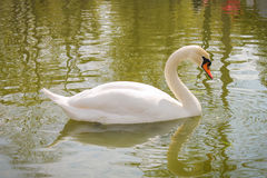 White swan. Floats on water Royalty Free Stock Images