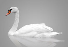 White swan floats in water. Bird isolated over gray background Royalty Free Stock Photos