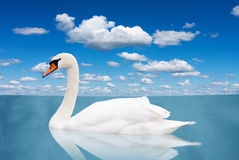 White swan floats in water. Royalty Free Stock Photo