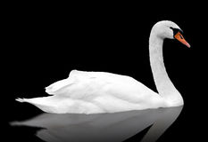White swan floats in water. Bird with reflection isolated over black stock photography
