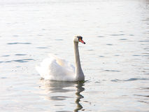 The white swan floats on the water Royalty Free Stock Images