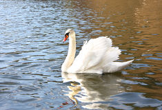 The white swan floats on the water Stock Image
