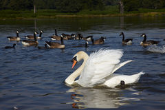 White swan and a flock of canada goose Stock Photo