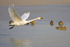 White Swan flying. Cross the river Royalty Free Stock Photography