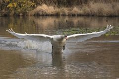 White swan in flight stock image