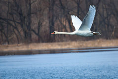 White Swan Flying Over Water Stock Photography