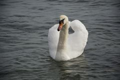 White swan in the foggy lake at the dawn. Morning lights. royalty free stock photography