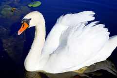 White swan on the forest lake Royalty Free Stock Photography